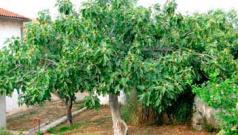 Правильное выращивание инжира на дачном участке